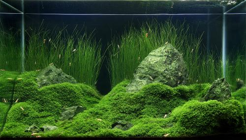 The International Aquatic Plants Layout Contest 2011 496