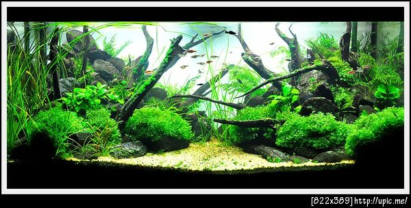 The International Aquatic Plants Layout Contest 2011 Rank-209