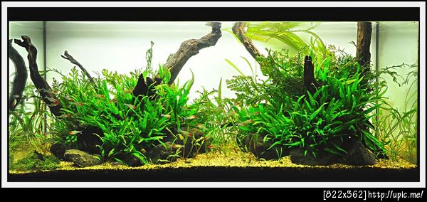 The International Aquatic Plants Layout Contest 2011 Rank-828